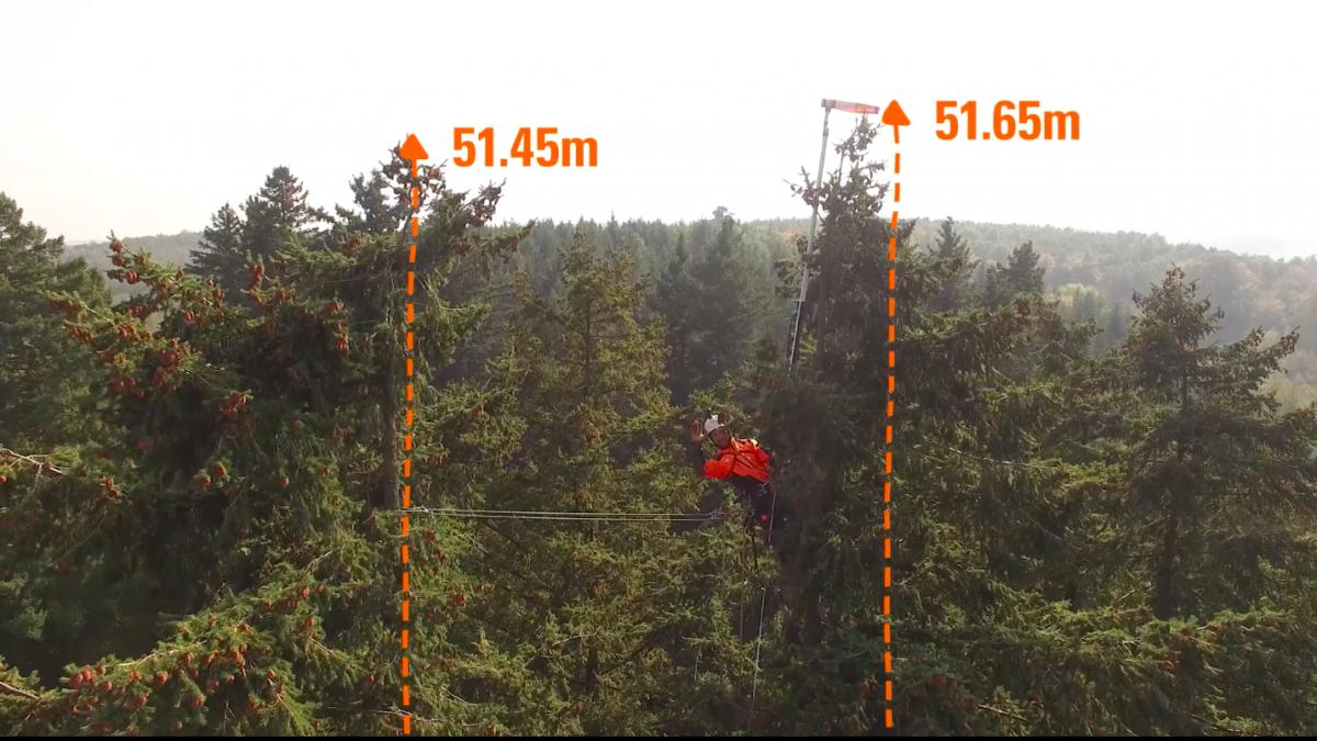 Így mérték le Magyarország legmagasabb fáját! - videó!