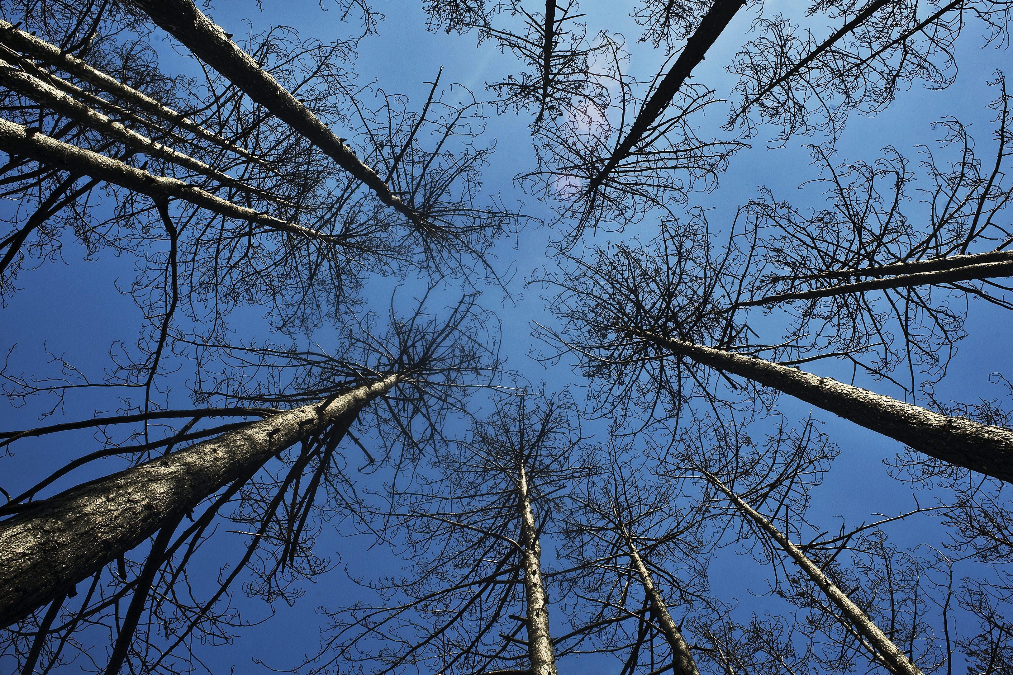 Eltűnhet majd a lucfenyő az erdeinkből?