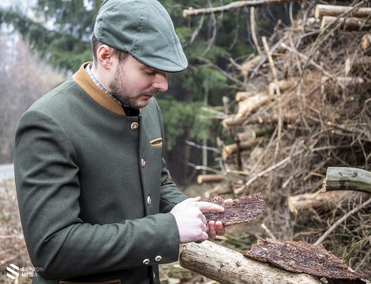 Rendkívül komoly károkat okoz a betűzőszú a Soproni-hegység erdeiben