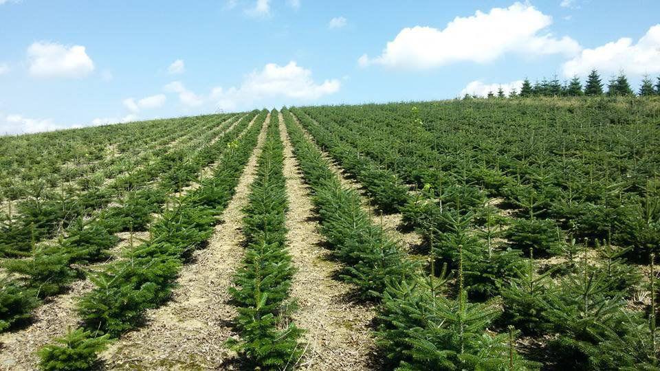 Április 15-től benyújtható a karácsonyfa-ültetvények után igénybe vehető átmeneti támogatás