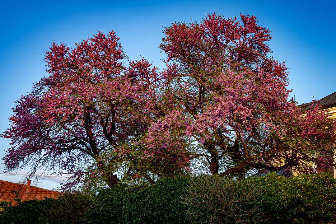 A mélykúti júdásfa lett idén az Év fája