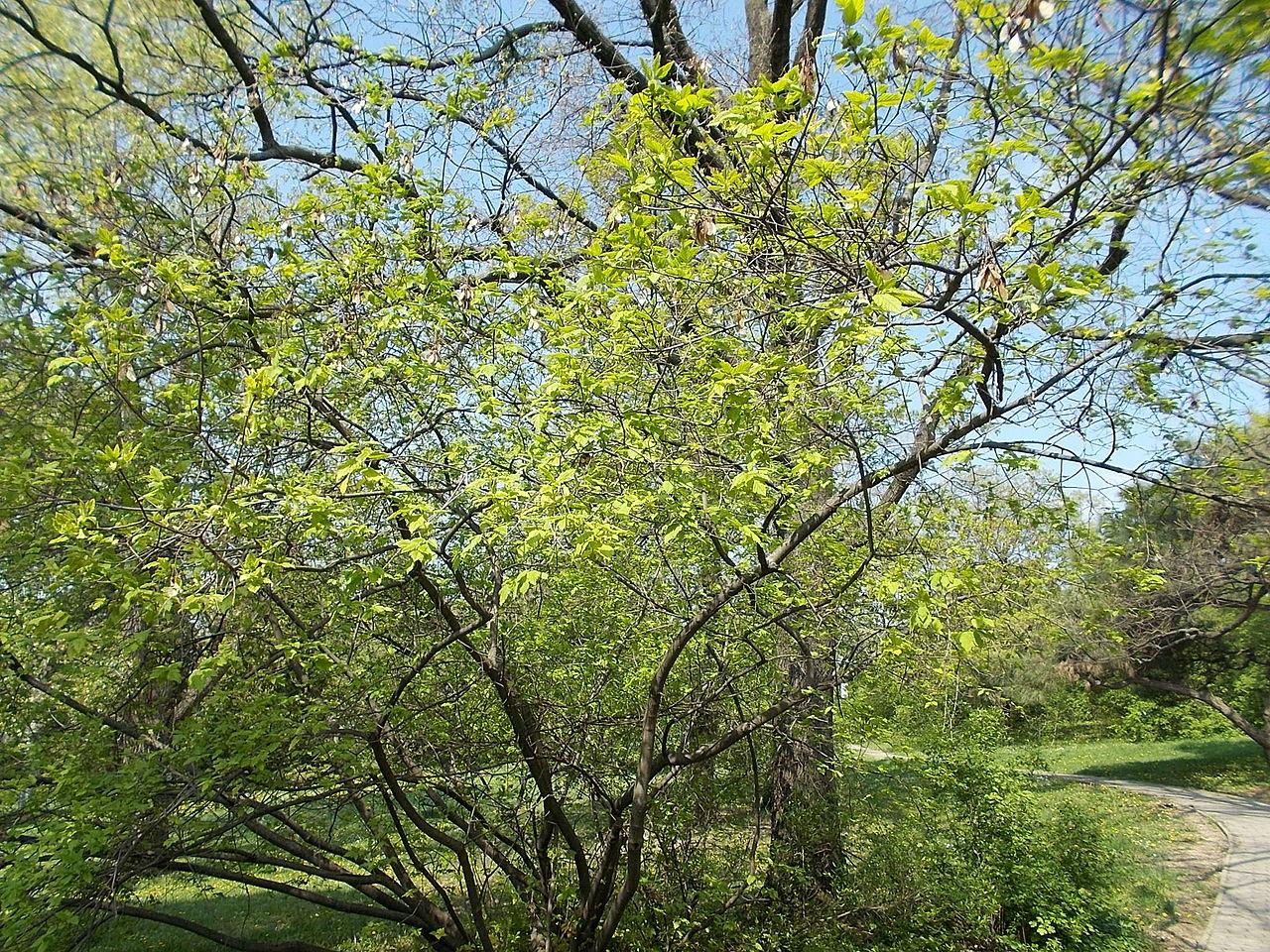 A tatár juhar az Év fája 2020-ban!